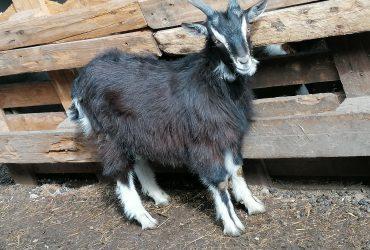 Eladó kecske