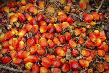 pálmaolaj főzéshez, biodízel és egyéb felhasználásra